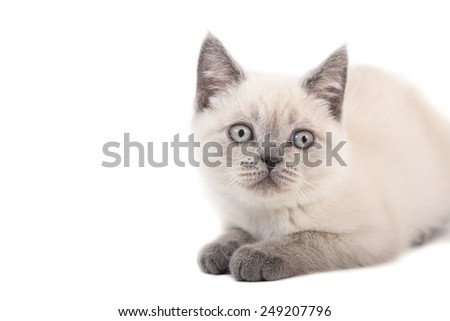 Kitten British color point lying on white background. Kitten two month.