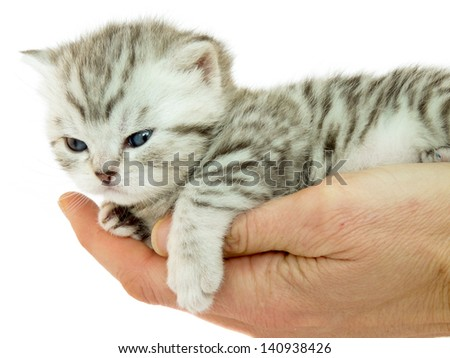 Kitten british short hair silver tabby spotted lying on a hand