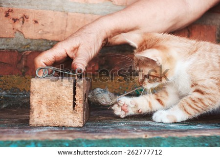 Kitten catch mouse. Red cat drag mouse's tail from trap - stock photo