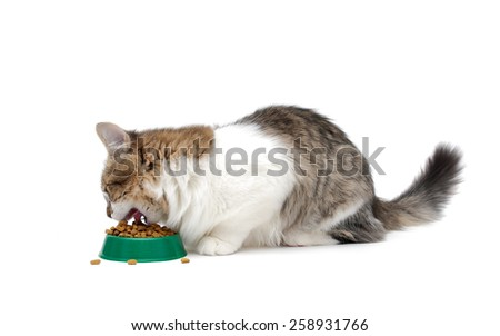 kitten eating food from a bowl isolated on white background. horizontal photo. - stock photo