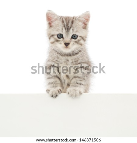 Kitten hanging over blank poster board, you add the message. - stock photo