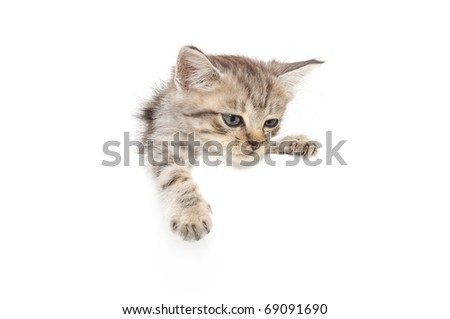 Kitten hanging over blank poster-board, you add the message. - stock photo