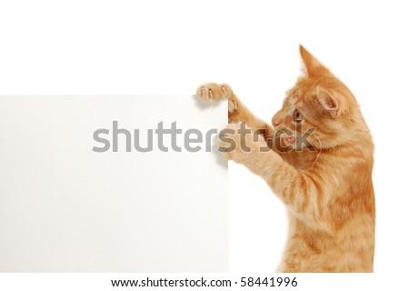 kitten holding blank banner's corner isolated on white background - stock photo
