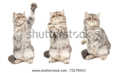 Kitten in  different  poses. Exotic short-haired kitten. - stock photo