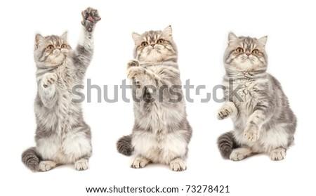 Kitten in  different  poses. Exotic short-haired kitten. - stock photo