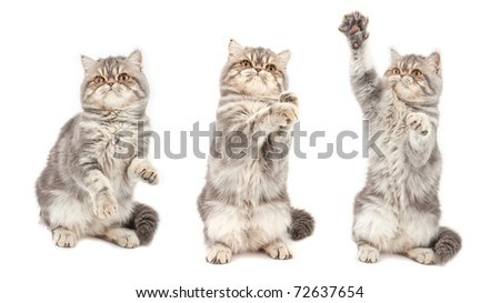 Kitten in  different  poses. Exotic short-haired kitten. Color blue tabby spotty. - stock photo