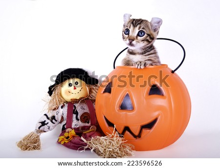 Kitten inside halloween jack o lantern with scarecrow isolated on white background - stock photo
