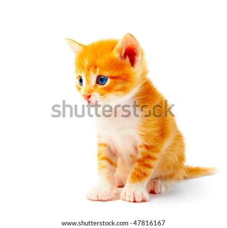 kitten isolated on white background - stock photo