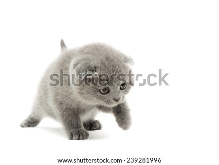 kitten jumping isolated on a white background