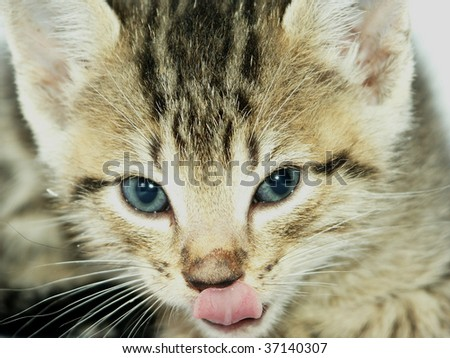 Kitten licking its nose - stock photo