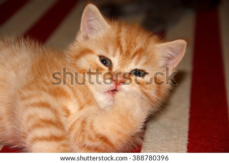 Kitten licking paw. Kitten red tabby striped color. Home small pet cat. British kitten color gold on silver. Kitten near the cat's house. - stock photo