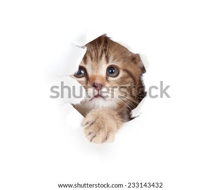 kitten looking up in paper side torn hole isolated - stock photo