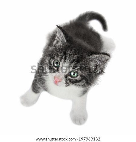 Kitten  looking up on white background. - stock photo