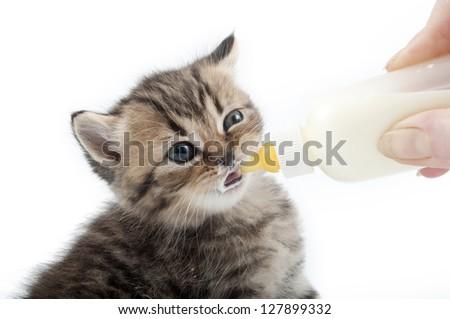 kitten milk feeding - stock photo