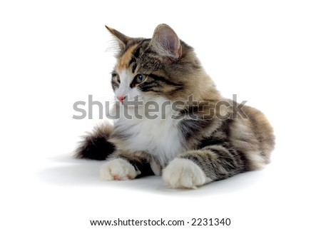 kitten of a norwegian forest cat