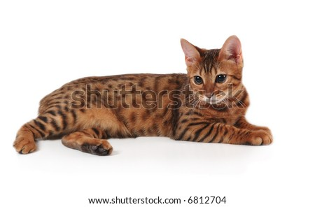 kitten of bengals breed - stock photo