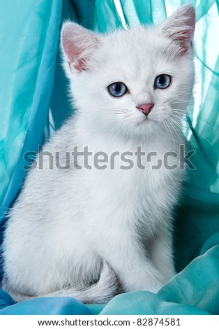 Kitten of the British breed. Rare coloring - a silvery chinchilla ? - stock photo