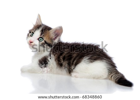 Kitten on a white background