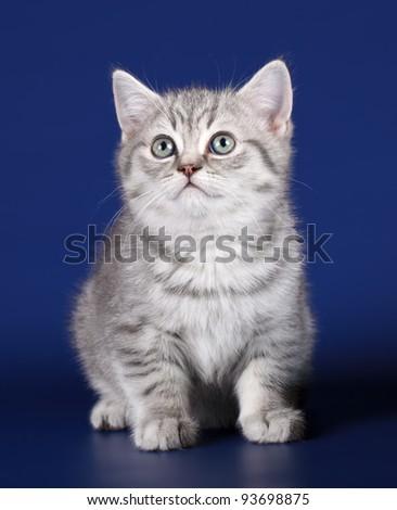 Kitten on blue background - stock photo
