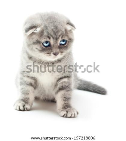 Kitten on white background.British Shorthair cat. - stock photo