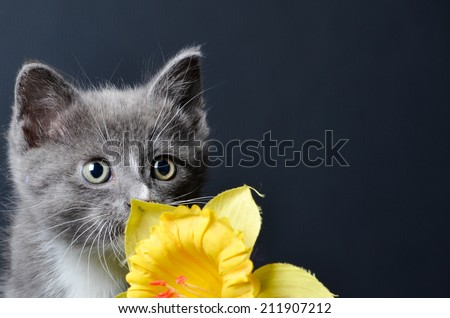 Kitten or cat posing with yellow flower on an isolated black background - stock photo