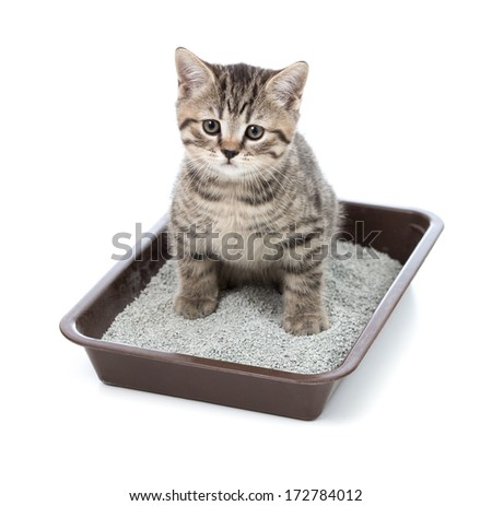 kitten or little cat in toilet tray box with litter - stock photo