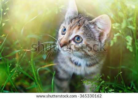 Kitten playing in the green grass at summer. Cute Tabby Cat in Summer Sun Lights, Pets care. - stock photo