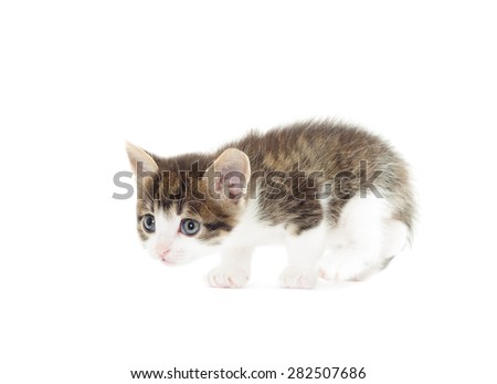 kitten prepares to jump on a white background isolated - stock photo