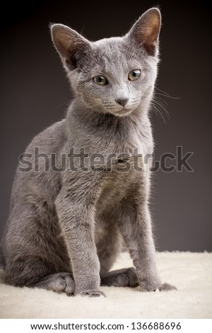 Kitten, russian blue cat.