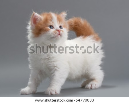 Kitten scottish Straight breed on gray. No isolated.