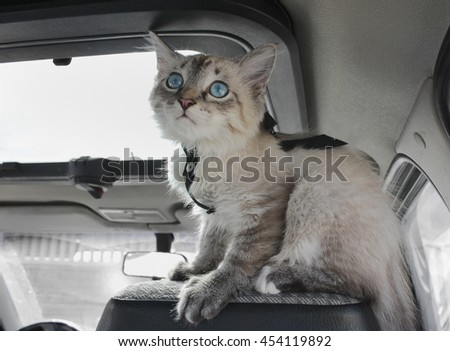 Kitten sits on sitting in the car and looks out of the window