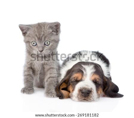 Kitten sitting with sleeping basset hound puppy. isolated on white background - stock photo