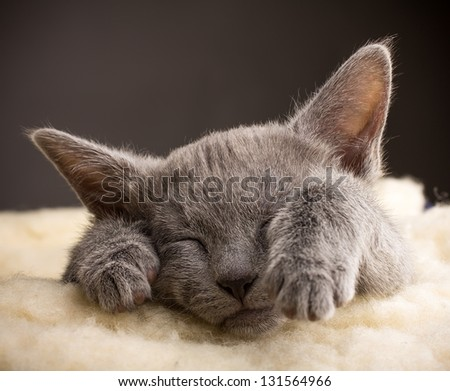 Kitten sleeping, russian blue cat. - stock photo