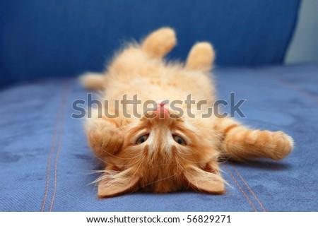 kitten sleeps on the back like a log - stock photo
