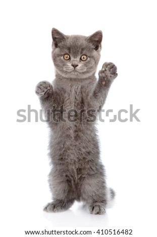 Kitten standing on hind legs. isolated on white background