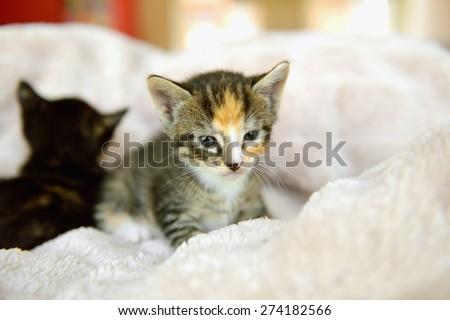 Kittens in towel starring - stock photo