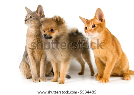 Kittens of Abyssinian breed and the puppy of the spitz-dog - stock photo