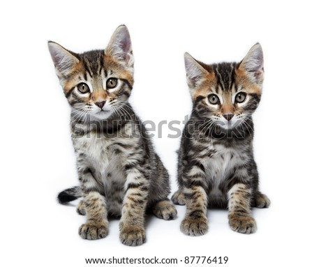 Kittens of the Metis breed ( Bengal + Maine Coon). Age - 2 month. - stock photo