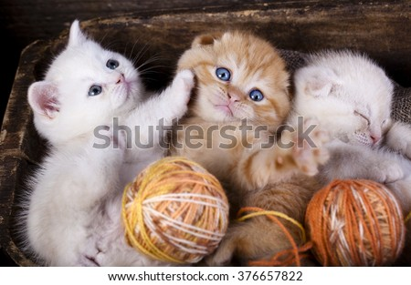 kittens scottish fold sleeping with a ball of wool - stock photo