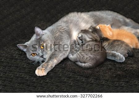Kittens suck a cat, a Cat with kittens, newborn kittens, mother cat feeding kittens, children, breast milk, feeding newborn kittens, newborn animals, the British breed of cats, motherhood in animals. - stock photo