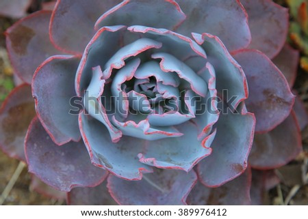 Kiwi Aeonium, a green and red succulent plant. Hens and Chicks or House leek Succulent. Green and purple leaves on a aeonium arboreum plant - stock photo