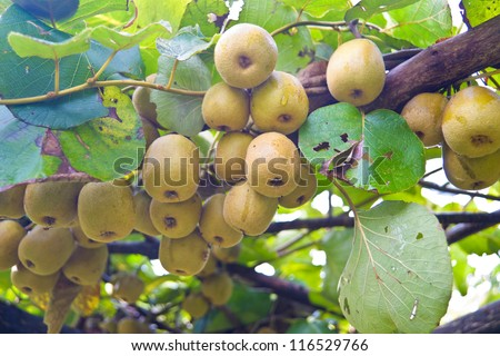 kiwi tree stock images, royaltyfree images  vectors  shutterstock, Beautiful flower