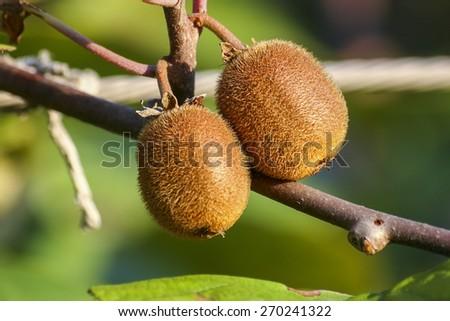 Kiwi tree - stock photo