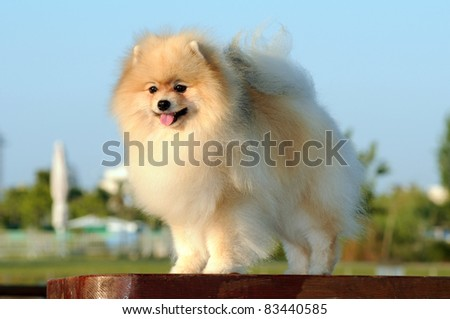 Klein Spitz dog, in show stand with nature background - stock photo