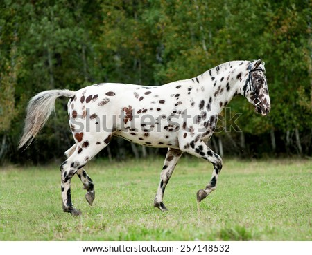 knabstrup appaloosa horse trotting in a meadow - stock photo