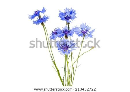 knapweed flower on a white background - stock photo