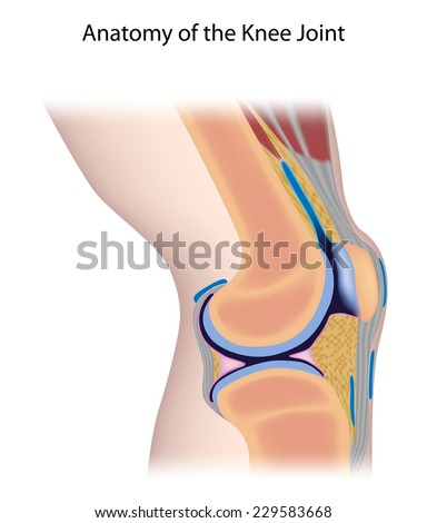 Knee joint anatomy unlabeled stock illustration 229583668 knee joint anatomy unlabeled stock illustration 229583668 shutterstock ccuart Image collections