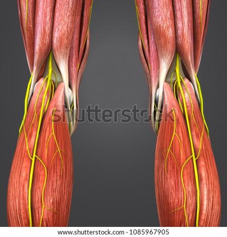 Knee Joint Muscle Anatomy Skeleton Nerves Stock Illustration