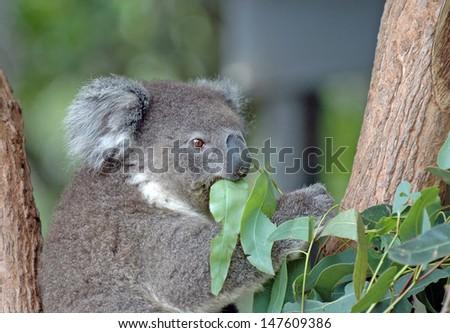 Koala and Eucalyptus, Sydney Australia - stock photo