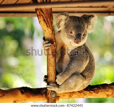 Koala bear - stock photo